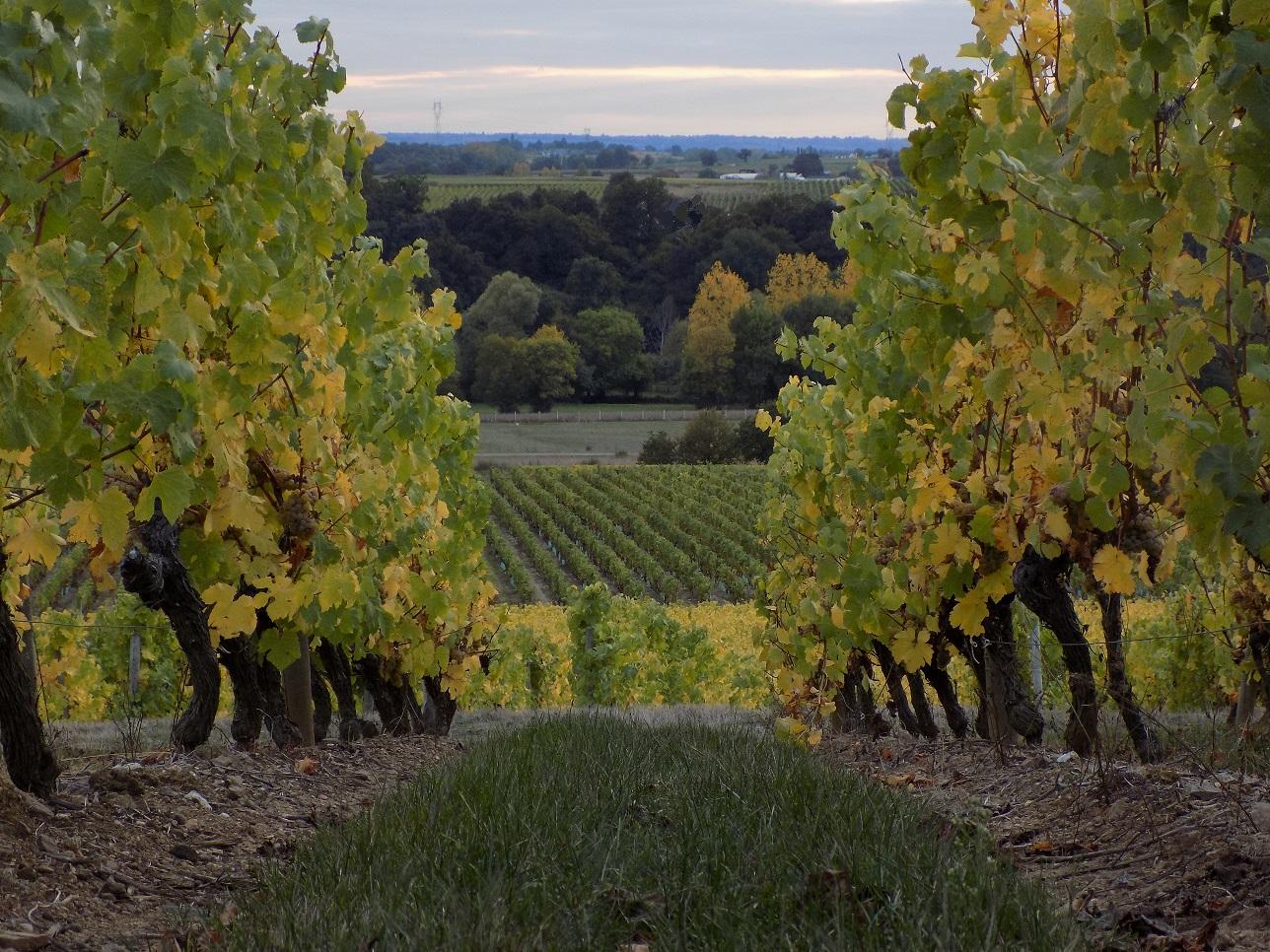 Photo vignes coteaux layon Anjou Domaine Angeliere cremant
